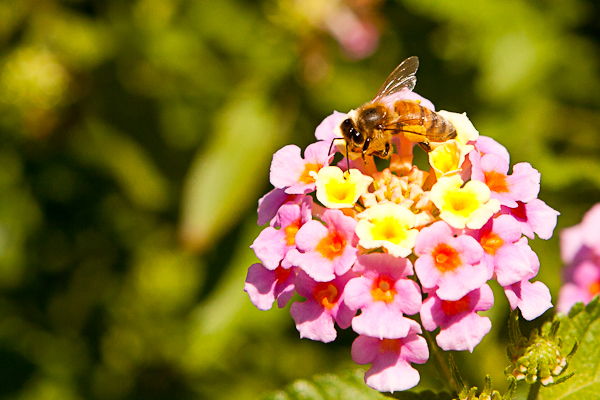 Blooms and bees in Central Park Conservatory Garden